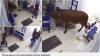 Mucca in fuga entra in ospedale e attacca i pazienti