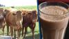Milioni di americani pensano che il latte al cioccolato provenga da mucche brune