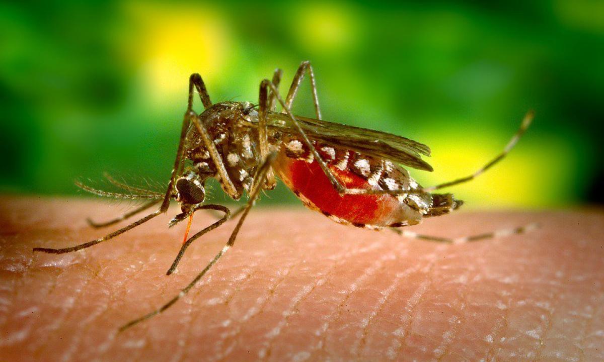 insetti che succhiano sangue umano