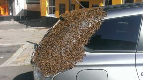 Sciame di 20.000 api seguono un auto per due giorni per salvare la regina intrappolata