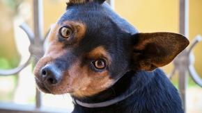 Perché il cane inclina la testa quando gli parliamo?