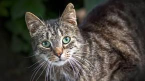 Scienziati potrebbero aver sviluppato un vaccino contro l'allergia ai gatti!