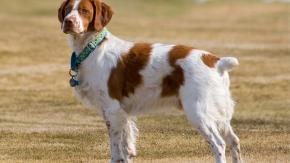 La coda del mio cane è morta: aiuto!