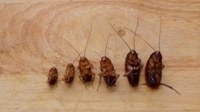 """""""Famiglia di scarafaggi"""" trovata nell'orecchio di un uomo cinese!"""