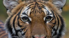 Tigre dello zoo del Bronx risultata positiva al Covid-19
