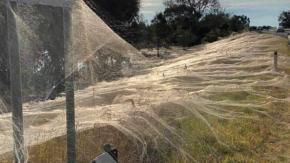 Una coltre di ragnatele copre una intera regione australiana