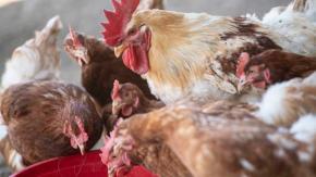 Uomo si dichiara colpevole: faceva sesso con i polli e la moglie lo filmava