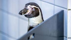 I Pinguini possono sparare la propria cacca a diversi metri di distanza